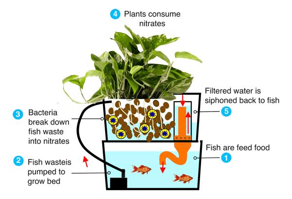 How an Aquaponics works